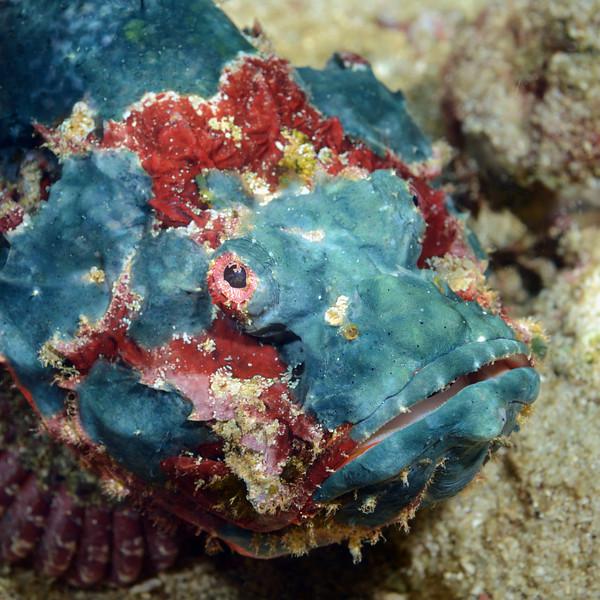 Fish: Scorpionfish<br /> Anilao, Philippines