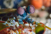 Mantis Shrimp:<br /> Anilao, Philippines