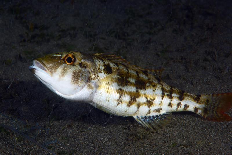 Fish caught in net.<br /> Night dive, Anilao Pier, Philippines