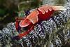 Shrimp: Periclimenes imperator on Sea Cucumber<br /> Anilao, Philippines.