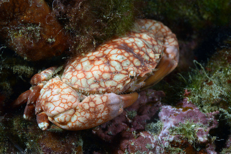 Crab:<br /> The Pier, Anilao, Philippines