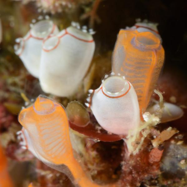 Tunicates<br /> Anilao, Philippines.