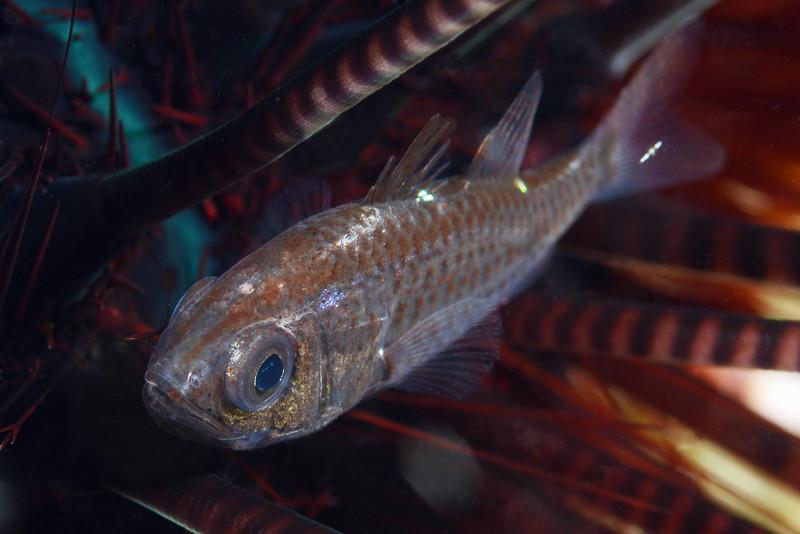 Fish: Urchin fish<br /> Anilao, Philippines