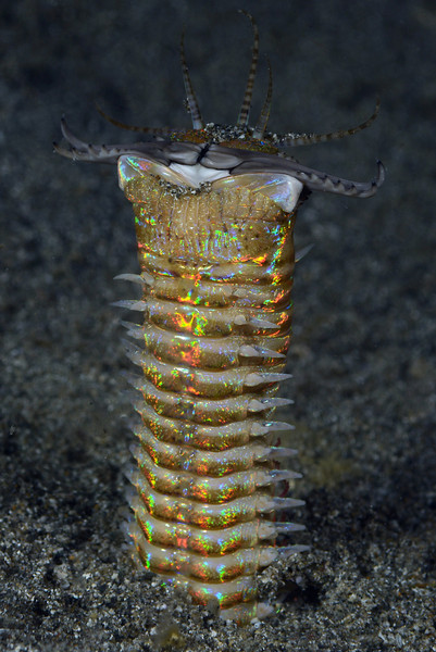 Bobbit Worm<br /> The Pier, Anilao, Philippines