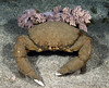 Crab: Dromia dormia.<br /> Anilao, Philippines.<br /> ID thanks to Dr. Mary Wicksten.