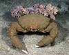 Crab: Dromia dormia.<br /> Anilao, Philippines.<br /> ID thanks to Dr. Mary Wicksten.