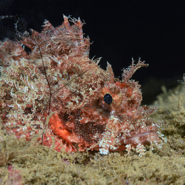 Scorpionfish<br /> Anilao, Philippines