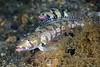 Fish: Parapercis clathrata, Latticed sandperch (female & male).<br /> Anilao, Philippines