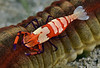 Shrimp: Periclimenes imperator on Sea Cucumber<br /> Anilao, Philippines.