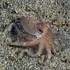 Cephalopod: Octo<br /> Anilao, Philippines.