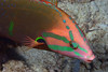 Fish<br /> Anilao, Philippines