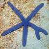 Echinodermata Star: Linckia laevigata, Blue Star, with bifurcated arm.<br /> Anilao, Philippines