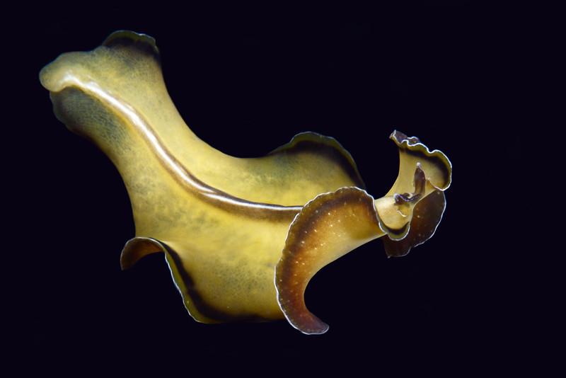 Flatworm<br /> Anilao, Philippines