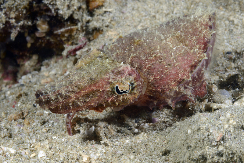 Cephalopod: Sepia papuensis, Papuan Cuttlefish.<br /> Anilao, Philippines.