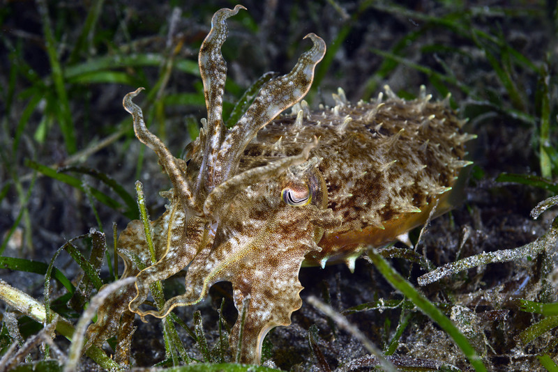 Cephalopod: Sepia sp., Cuttlefish<br /> The Pier, Anilao, Philippines