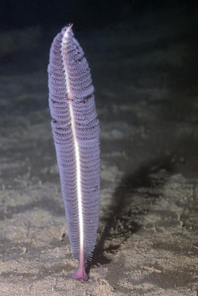 Coelenterata (Cnidaria): Virgularia sp. Sea Pen<br /> Anilao, Philippines