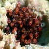 Anemone ?<br /> Anilao, Philippines.