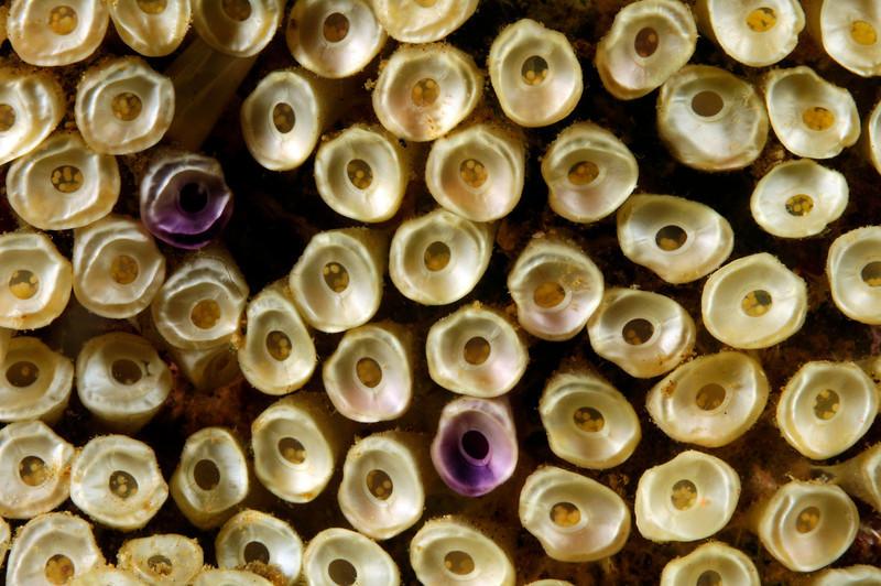Snail Eggs<br /> Anilao, Philippines