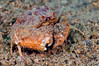Crab: Shame-faced crab; Calappa capellonis.<br /> Anilao, Philippines<br /> ID thanks to Ondrej capellonia