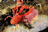 Squat lobster, family Galatheidae<br /> Anilao, Philippines<br /> ID thanks to Mary Wicksten