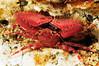 Crab_110411c