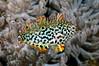 Macropharyngodon meleagris, Leopard wrasse