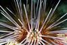 Urchin_110414b