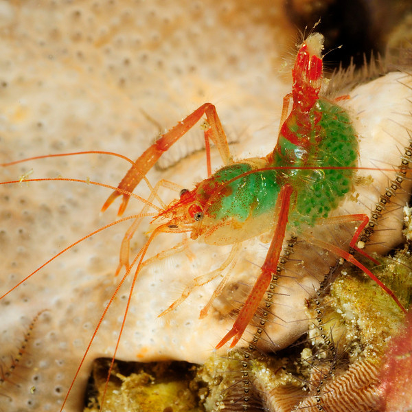 Shrimp: Looks like Odontozona sp. (family Stenopodidae), female carrying eggs.<br /> Anilao, Philippines<br /> ID thanks to Mary Wicksten