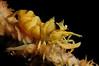 Shrimp: Black coral shrimp, Dasycaris zanzibarica.<br /> Anilao, Philippines<br /> ID thanks to Mary Wicksten