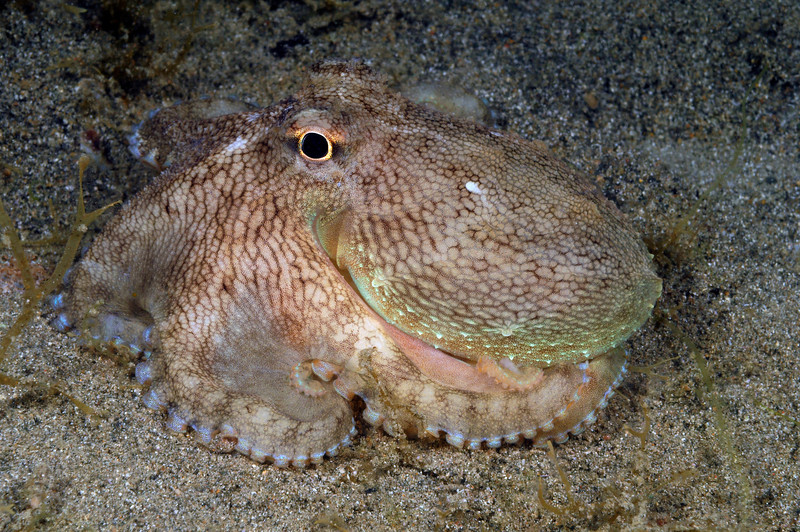 Octopus, out and about<br /> Anilao, Philippines