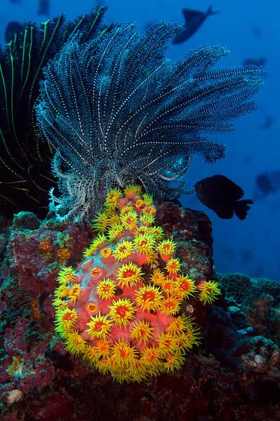 CoralStar_110407