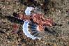 Pegasus fish, aka Dragon Sea Moth<br /> Anilao, Philippines