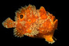 Frogfish_100406