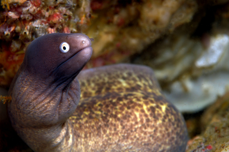 Eel<br /> Anilao, Philippines