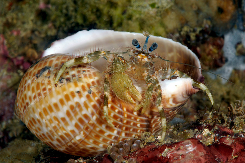 Hermit crab<br /> Anilao, Philippines