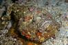 Stonefish<br /> Anilao, Philippines