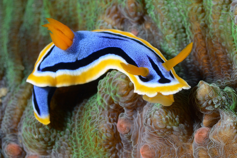 """Chromodoris annae, known for the """"pits"""" in the blue part of the mantle.<br /> Anilao, Philippines<br /> ID thanks to Gary Cobb."""