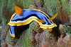 "Chromodoris annae, known for the ""pits"" in the blue part of the mantle.<br /> Anilao, Philippines<br /> ID thanks to Gary Cobb."