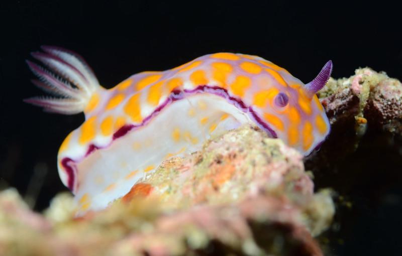 Hypselodoris ?<br /> Anilao, Philippines