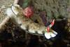 Hypselodoris bollandi<br /> Anilao, Philippines