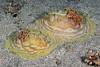 Asteronotus cespitosus<br /> Anilao, Philippines