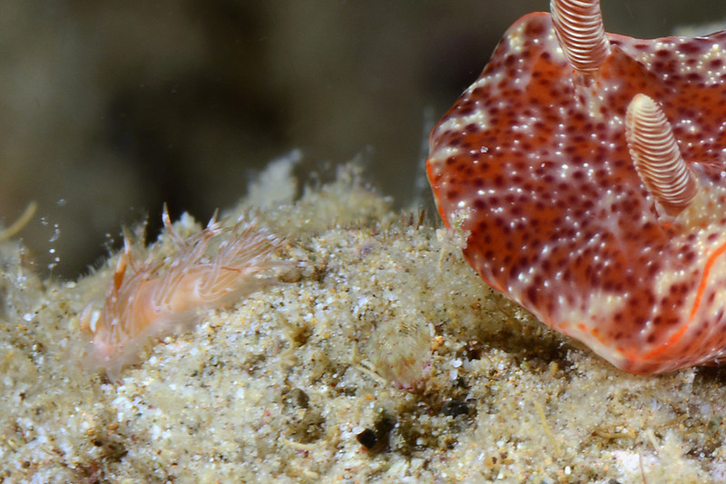Ceratosoma gracillimum, chasing an unknown nudibranch<br /> Anilao, Philippines<br /> ID thanks to Christiane Waldrich