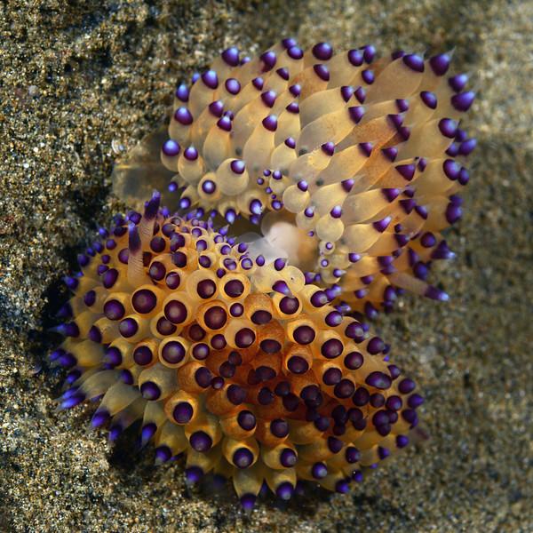 Antiopella sp., mating<br /> Anilao, Philippines