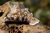 Hypselodoris tryoni<br /> Anilao, Philippines