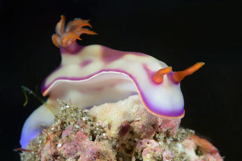Hypselodoris sp. 10<br /> Anilao, Philippines