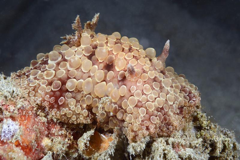 Carminodoris flammea<br /> Anilao, Philippines