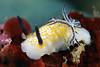 Taringa halgerda<br /> Anilao, Philippines
