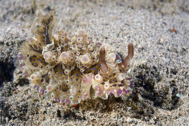 Dendrodoris denisoni<br /> Anilao, Philippines