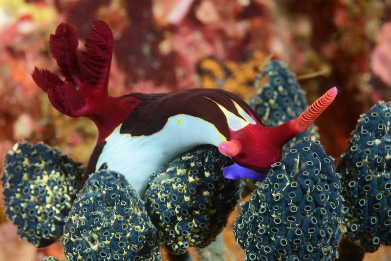Nembrotha chamberlaini, feeding on tunicates<br /> Anilao, Philippines