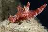 Ceratosoma gracillimum, (note tiny nudibranch in front)<br /> Anilao, Philippines<br /> ID thanks to Christiane Waldrich